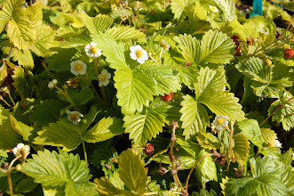 Photo: Golden Alexandria alpine strawberry.  Photo credit Log House Plants