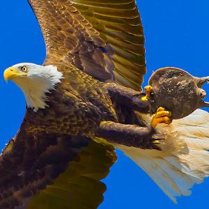 Eagle-with-Turtle-Closeup.jpg