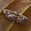 Eurrhyparodes Moth