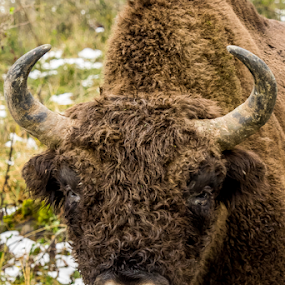 Wild Bison of Romania by Alin Miu - Animals Other Mammals ( buffalo, wildlife photography, animal faces, bison, wepa.ro, wildlife,  )