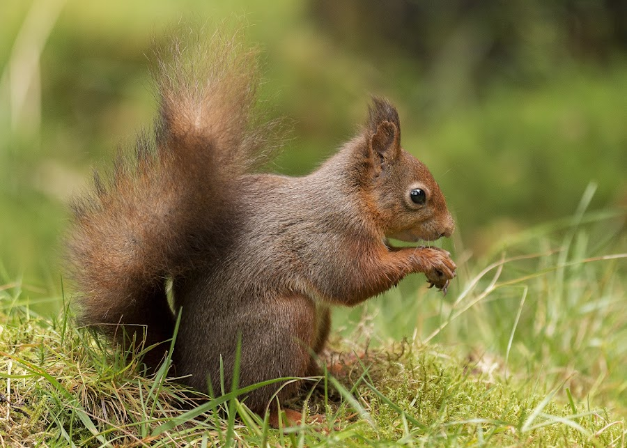 Squirrels in the Dales by Roland Rodgerson - Animals Other Mammals ( dales, squirrels, yorkshire, rare, red squirrel,  )