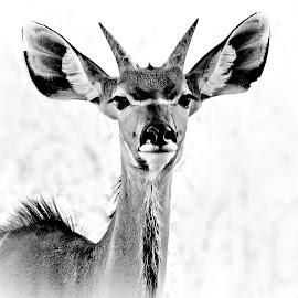 Young Kudu Bull by Pieter J de Villiers - Black & White Animals