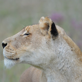 In the distance by Charmane Baleiza - Animals Lions, Tigers & Big Cats ( lion eyes, lioness, south africa, looking, lion, female lion, wildlife )
