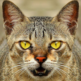 by Yan Abimanyu - Animals - Cats Portraits