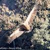 Griffon Vulture; Buitre Leonado