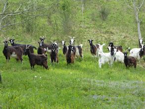 Photo: chèvres sur les coteaux de Baybelle