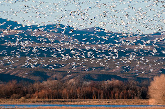 Photo: Snow geese circling the lagoon before landing. Their honking and flapping wings made a deafening sound, which some people compare to that of a jet engine.