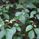 American Spicebush