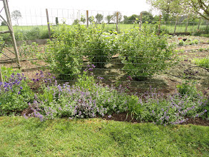 Photo: Currant bushes after weeding out hundreds of wild poppies, although I have left a few to flower