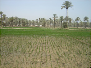 Photo: A transplanted field, 2010 [Photo provided by  Khidir A. Hammed]