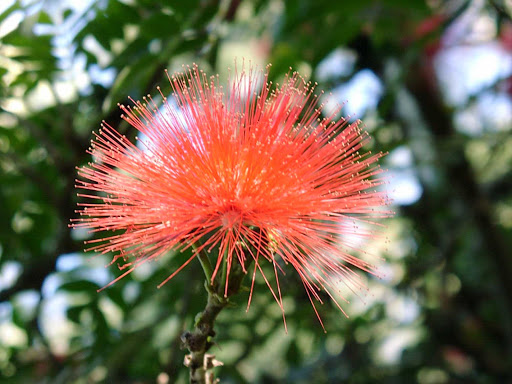 Australia-Cairns-flower - A lovely blossom in Cairns, Queensland, Australia.