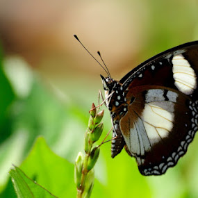 Butterfly by Taufiqurrahman Setiawan - Animals Insects & Spiders