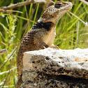 Crevice Spiny Lizard