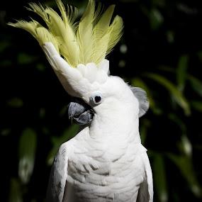 Kakek Tuir by Donny Novianus - Animals Birds