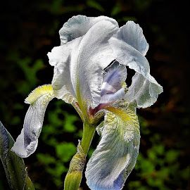 white iris by Mary Gallo - Flowers Single Flower ( macro, iris, white, nature, nature up close, flower,  )