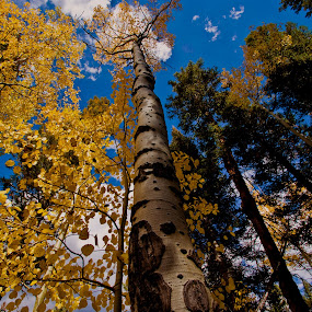 Autumn Canopy by Brian Kerls - Nature Up Close Trees & Bushes ( fall colors, leaf, travel, yellow, leaves, hiking, overhead, sky, tree, nature, autumn, camping, bark, perspective, pine, forest, tourism, destination, aspen glade, aspen grove, outdoors, trees, western, natural, golden, america, colorful, back packing, splendor, plants, landscape, usa, aspen trees, canopy, aspens, autumn colors, gold, clouds, logs, aspen forest, rocky mountains, colorado, colorado landscape, scenic, field, wilderness, blue, national park;, fall, scenery, october, evergreen )