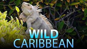 Wild Caribbean thumbnail