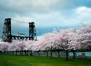 Photo: Portland Spring  Every year the cherry blossoms are a major attraction at the Japanese Memorial along the waterfront downtown Portland. It is a big sign that winter is behind us and that the sun will be coming. Thursday after work I met up with +Brian Matiashto capture the trees in bloom while they last. Between the wind and the rain, the flowers don't stand a chance to last as long as they could. In the background is the Steel Bridge, my favorite of the bridges that Portland is famous for.  #blog