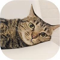 キジトラ猫紹介画像