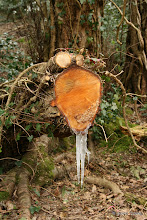 Photo: Sap coming out of this piece of cut wood creates icicles on a cold Easter Sunday.