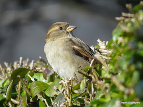 Photo: House Sparrow