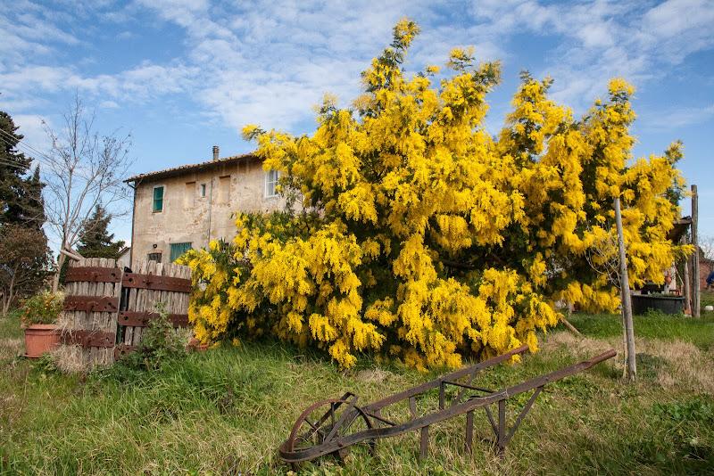 Marzo e mimose di Gianluca Presto
