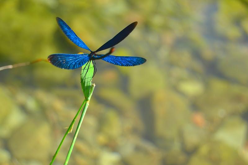 dragonfly di roxanarotaru22