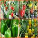 paprika cultivation