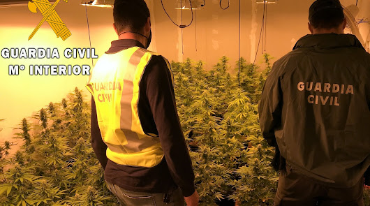 Hallan 278 plantas de marihuana en una casa cercana a un colegio de Aguadulce