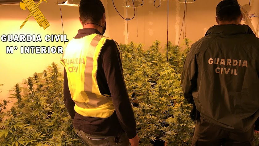 Cultivo de marihuana desmantelado en Aguadulce.