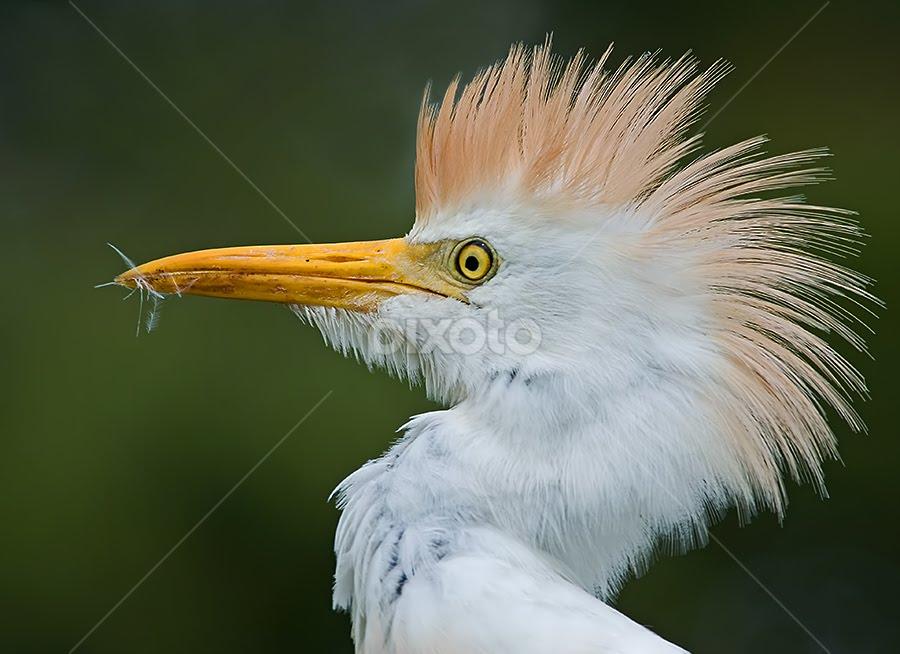 Mohawk by Shelly Wetzel - Animals Birds ( wading bird, cattle egret )