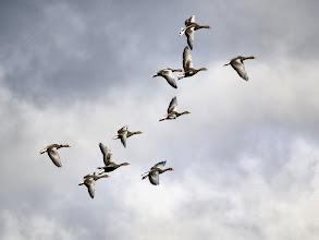 Photo: Greylag Geese leaving Staveley.