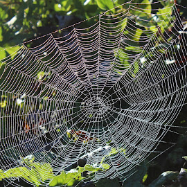 Morning Dew on the Web by Terese Hale - Nature Up Close Webs ( dawn, orb, dew, spider, web )