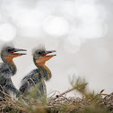 Grey Heron Chicks
