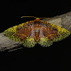 Moth - Tristina jucunda