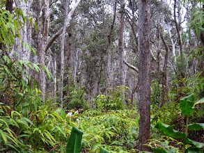 Photo: Forest, in Volcano National Park.