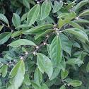 Green Ebony Persimmon