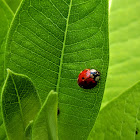 Multicolored Asian Ladybeetle