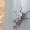 Robberfly/Assassin fly
