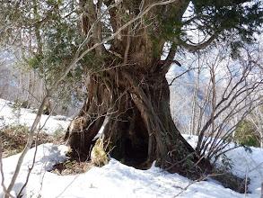 この辺りも巨木が多い