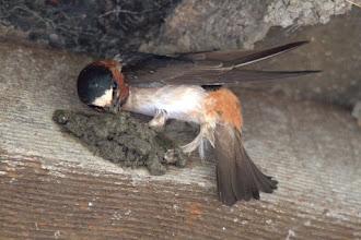 Photo: Barn Swallow