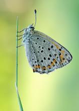 Photo: Lycaena tityrus, Cuivré fuligineux / Argus myope, Sooty Copper http://lepidoptera-butterflies.blogspot.fr/