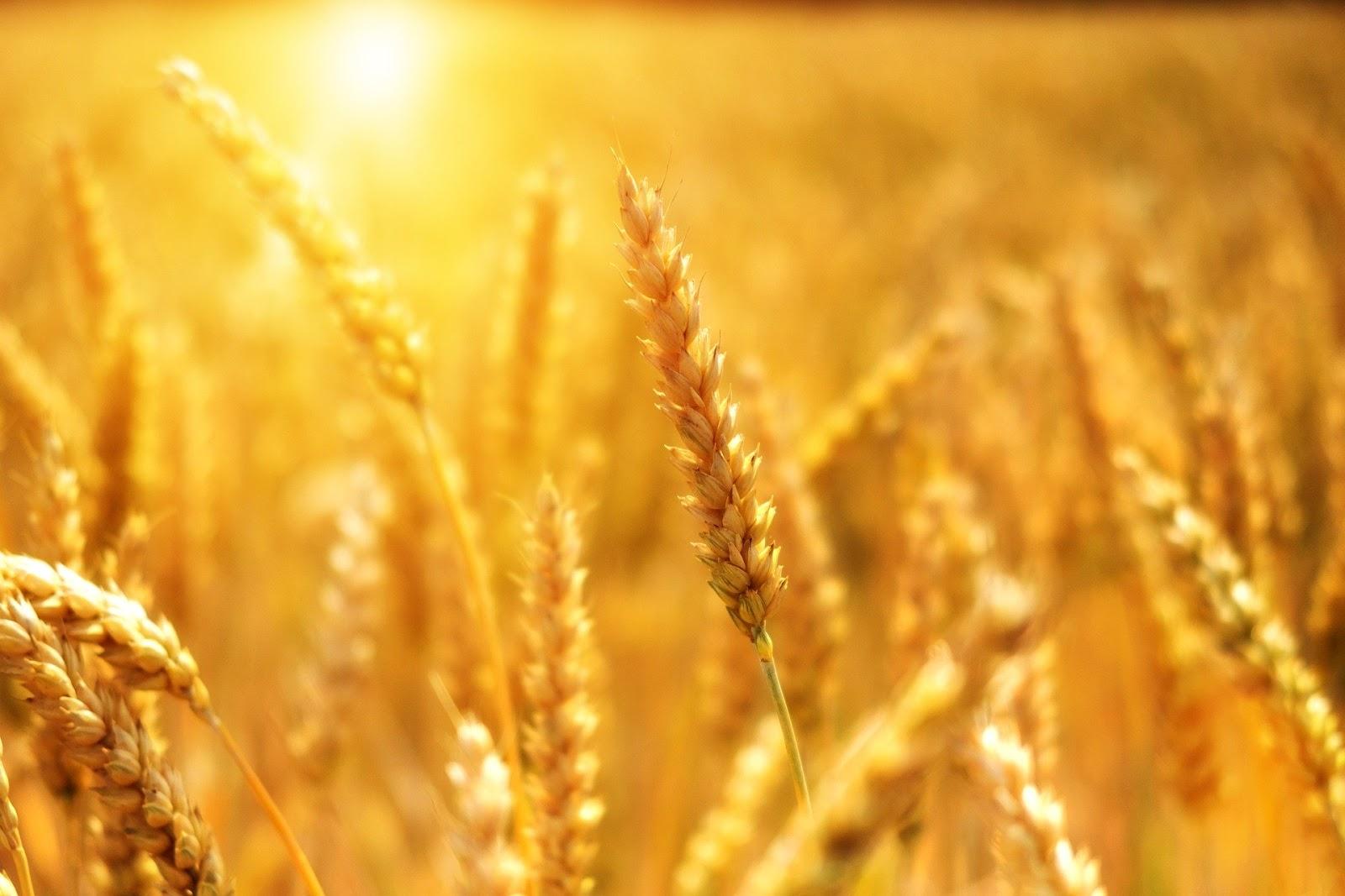 Preço mundial de cereais teve queda nos primeiros meses de 2020 (Fonte: Pixabay)