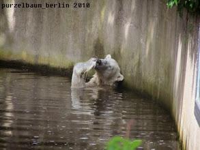 Photo: Knut leckt sich die Lachstatzen :-)