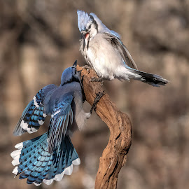 Blue Jays Fighting 0476 by Carl Albro - Animals Birds ( blue jay, fighting, birds, wildlife )