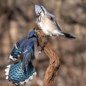 Blue Jays 0476.jpg