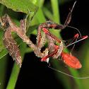 Dead leaf mantis nymph