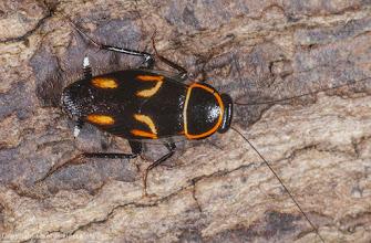 Photo: Cockroach (Sundablatta pulcherrima). Bako National Park, Sarawak, Borneo.