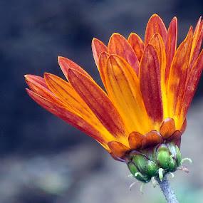 king fire by Ruy Lopes - Flowers Single Flower ( laranja, rei, fogo, amarelo, flor,  )