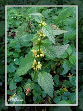 Photo: Lamier des montagnes, Lamium galeobdolon subsp. montanum